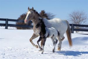 """Appaloosasnowcapmareandfoal"" by Appaloosas at en.wikipedia. Licensed under CC BY-SA 3.0 via Wikimedia Commons"