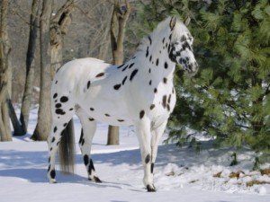 Appaloosa horse on snow.  Picture from http://www.allposters.co.uk/