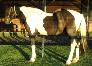 Zimas last September. I wish my camera was good enough to capture all the colours of this amazing stallion. The dark part of his tail turns to deep red under bright sunlight.