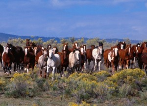 Wild mustang horses.  Picture from http://ourworldofhorses.com